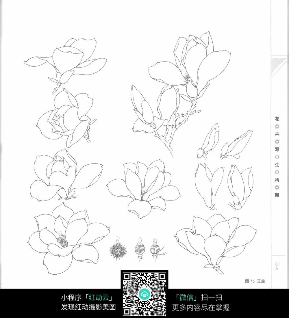 玉兰分解线描花卉手绘
