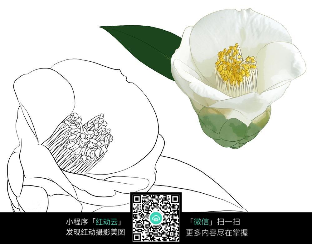玉兰花手绘图 花草树木图片 红动手机版