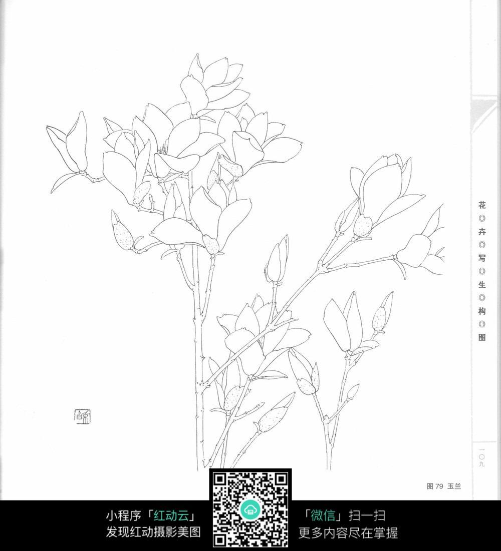 玉兰花枝条花朵手绘线描