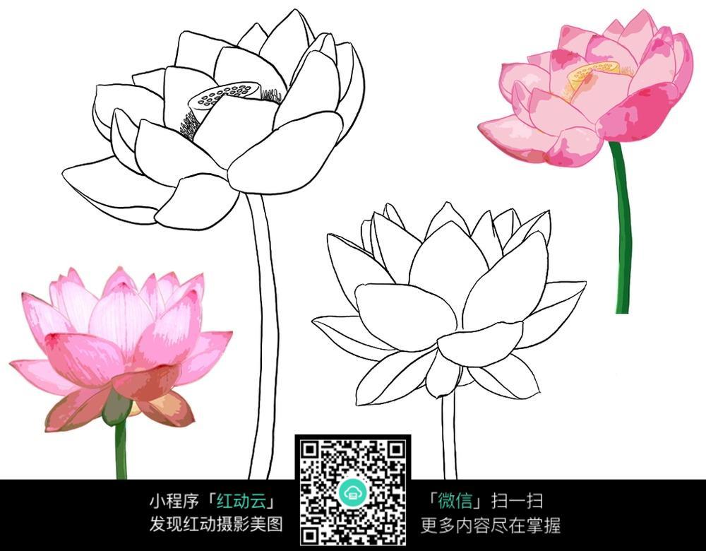 粉色的荷花花朵花瓣插画