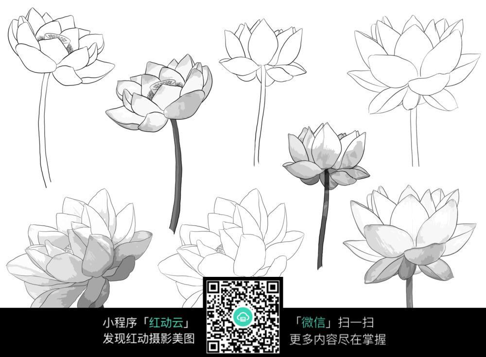 上颜色的荷花花朵素描稿