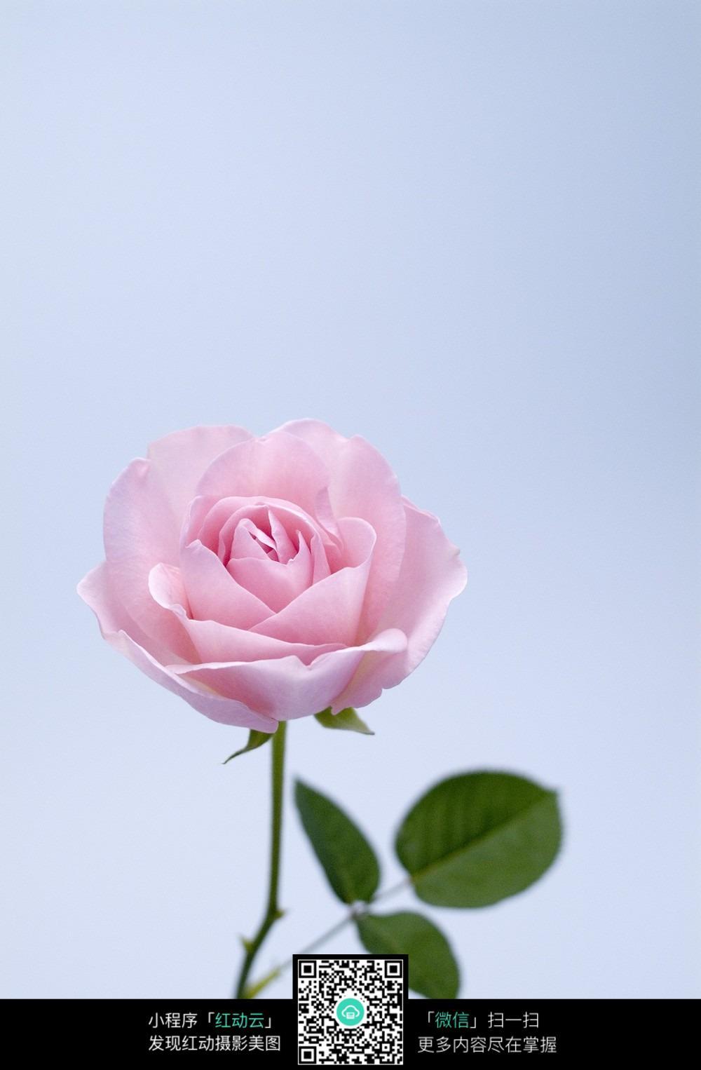 免费素材 图片素材 生物世界 花草树木 带叶子的粉色玫瑰花  请您分享