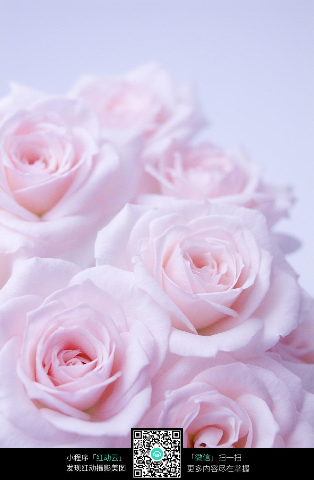 粉色玫瑰花背景图图片免费下载 编号3828392 红动网图片