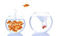 跃出水面奋泳的金鱼