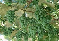 树上的青色葡萄