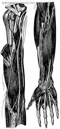 胳膊手组织结构图图片