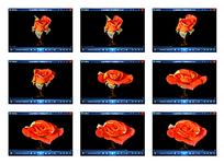 玫瑰花绽放视频