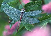蜻蜓素材图片