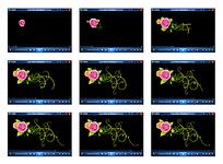 玫瑰花生长视频素材