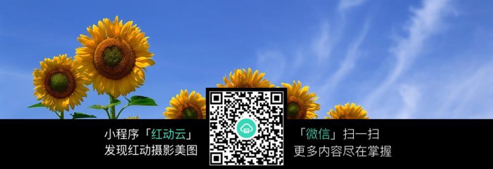 唯美风景太阳花