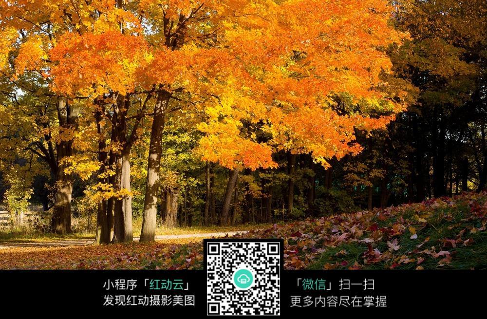 树林 树木 落叶 秋天 草地 草坪 风景图片 自然风光 摄影图片