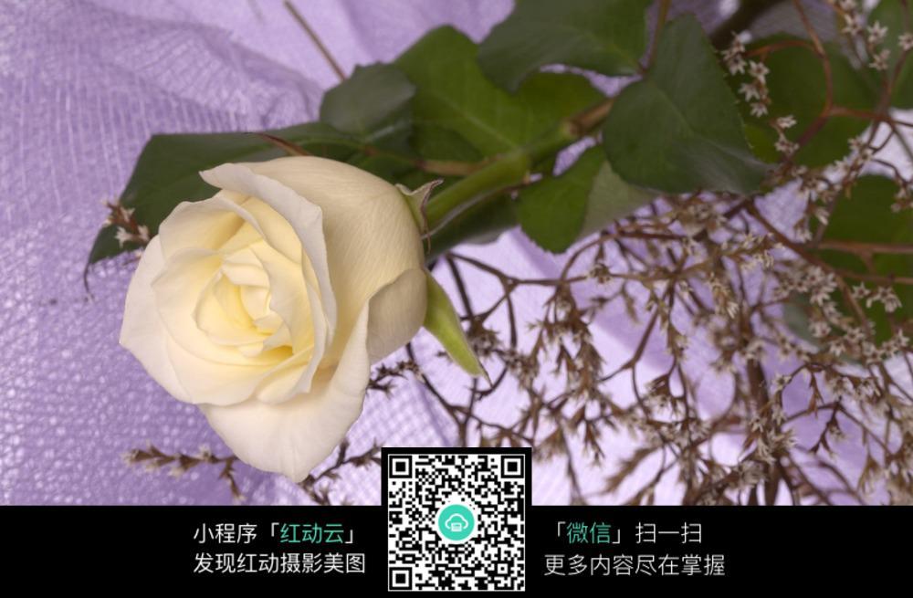 一枝白玫瑰特写  一枝白玫瑰近景  白花绿叶   白玫瑰   盛开的白玫瑰