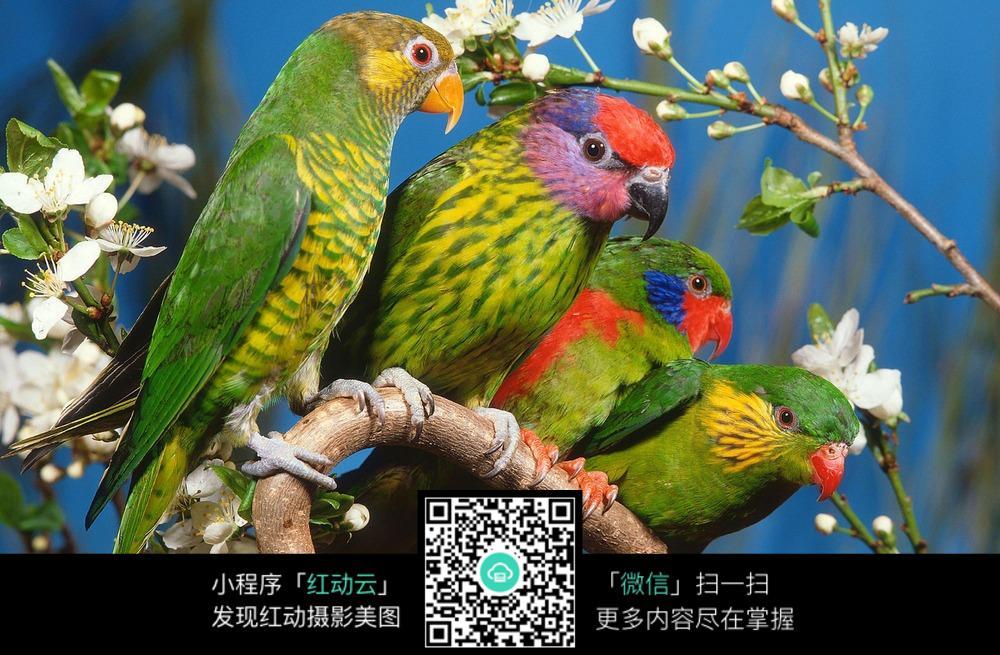 壁纸 动物 鸟 鹦鹉 1000_655图片
