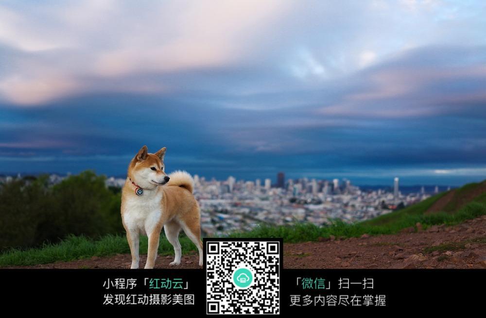 秋田犬_陆地动物图片