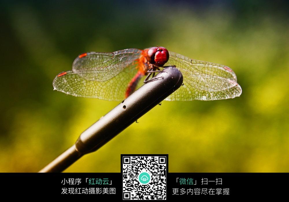 停下的红色蜻蜓_陆地动物图片