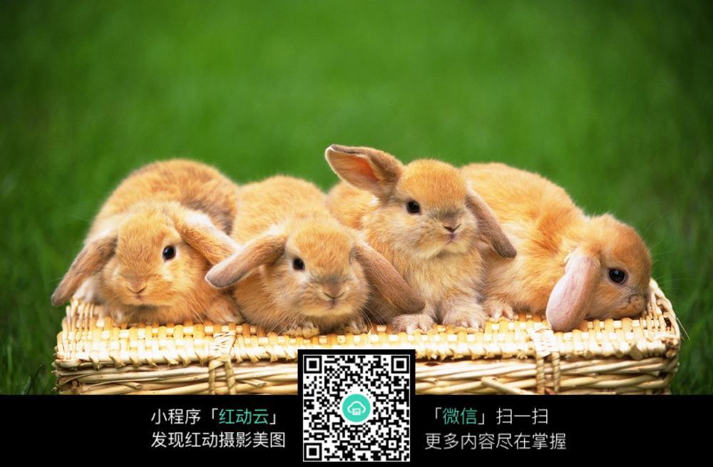 一篮子萌兔_陆地动物图片