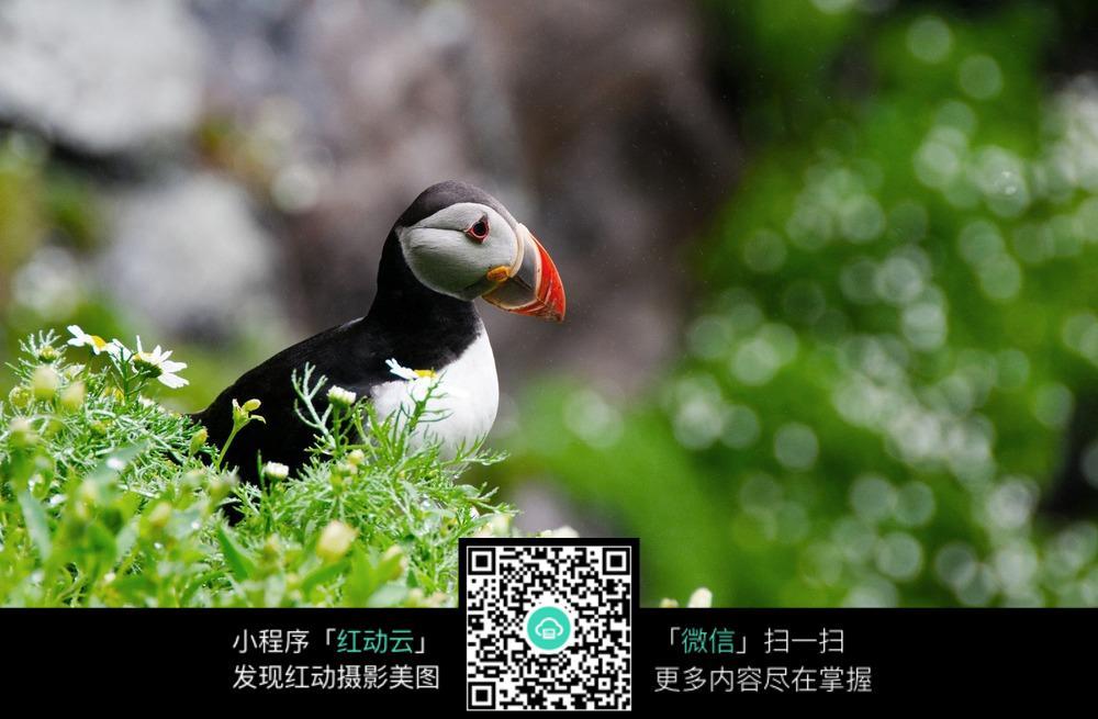免费素材 图片素材 生物世界 陆地动物 草坪上的奇异鸟类