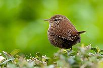 春色绿叶上的小鸟