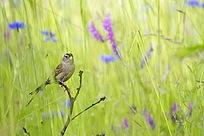 花丛中的小鸟