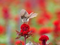 鸡冠花上的小鸟
