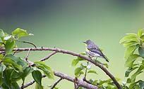 青枝绿叶上的小鸟