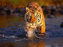 水中行走的老虎