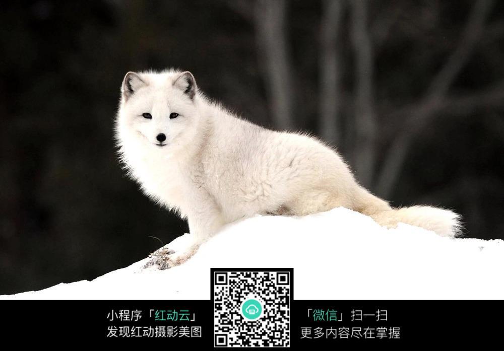 雪地里的白狐_其他生物图片