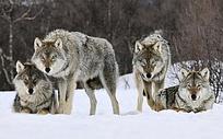 雪地里凝视前方的狼群