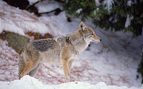 屹立在雪地里的狼