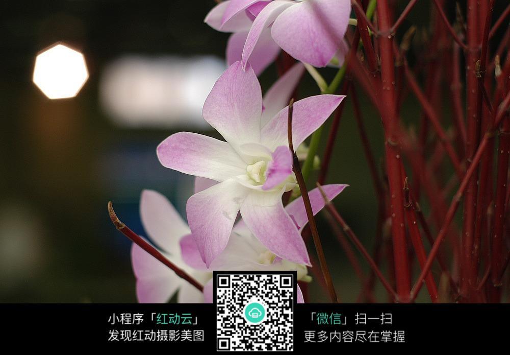 彩色蝴蝶花图片
