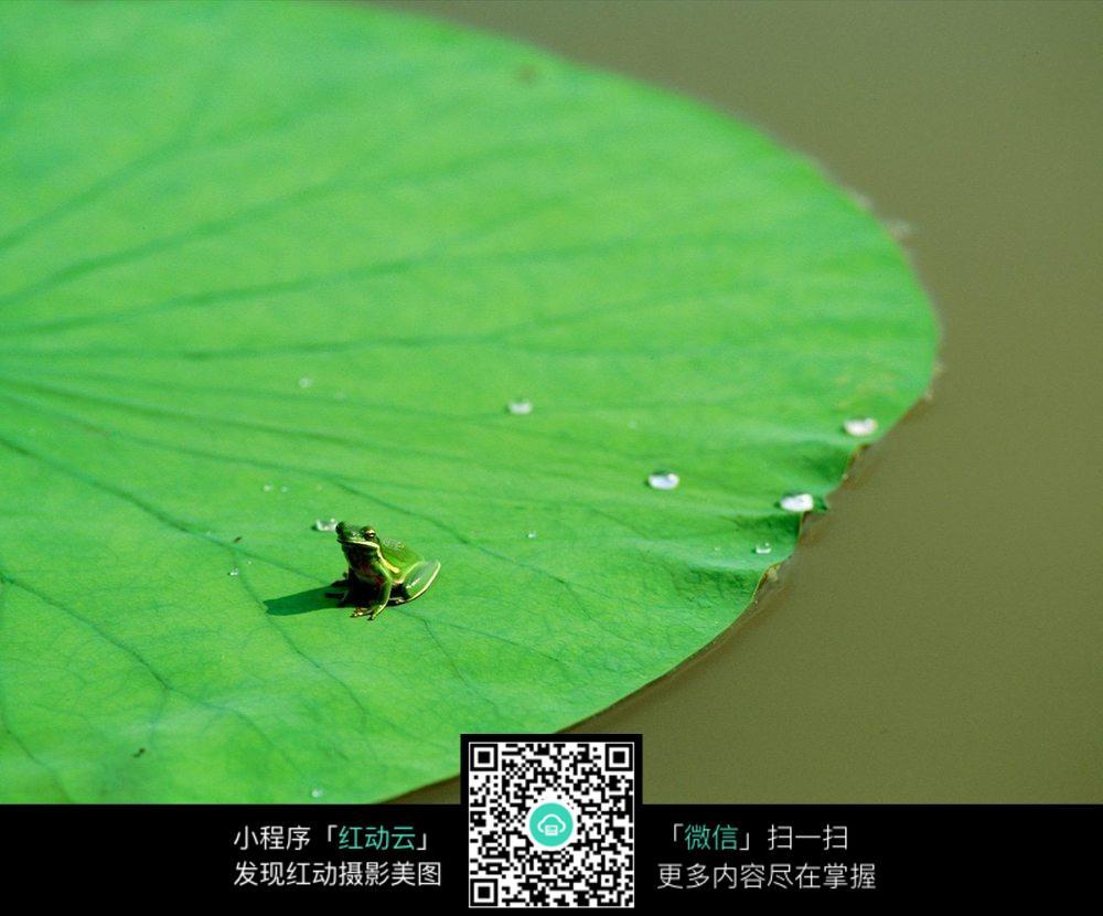 荷叶上的小青蛙图片