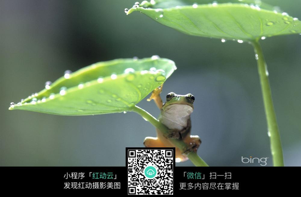 趴在荷叶上的小青蛙图片免费下载 编号5160992 红动网