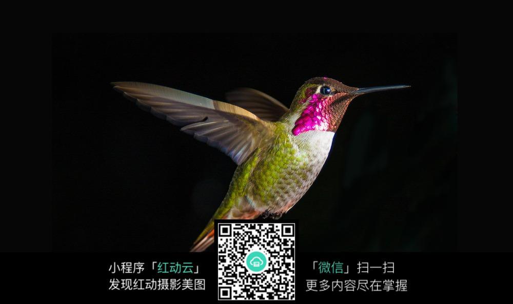 飞翔的蜂鸟微距摄影图片