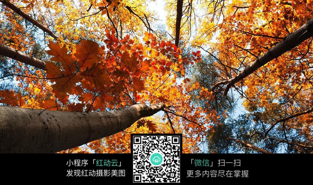 秋天的枫叶树图片免费下载 编号5165792 红动网