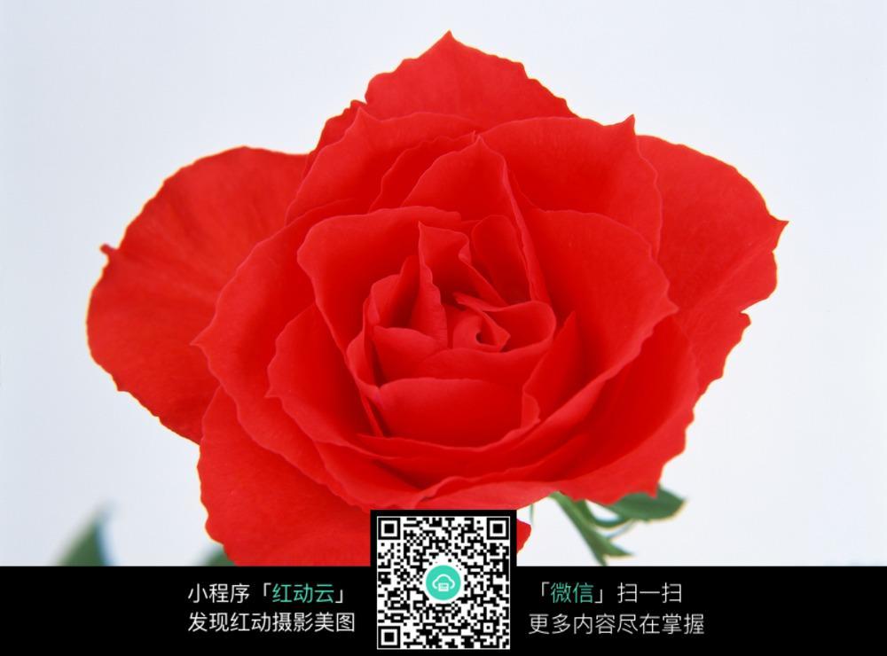 一朵红玫瑰花图片免费下载 编号5191254 红动网