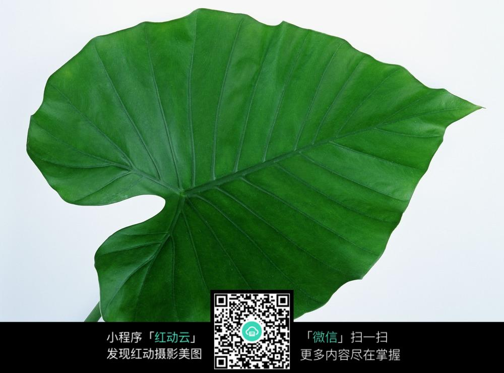 JPG 翠绿色心形滴水观音叶片图片免费下载_花草树木图片