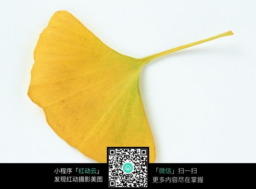 黄色银杏树叶图片