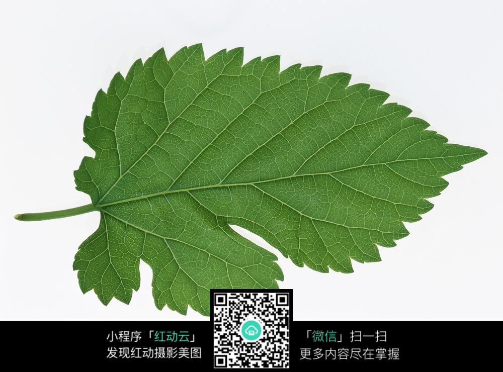 叶子植物图片