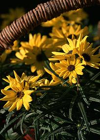 黄色茼蒿菊盆栽特写图片
