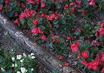 花坛里的小红花
