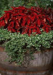 木盆里的红色叶子和长着白花的草