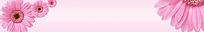 粉红色菊花背景淘宝店招图片