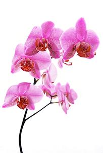 粉红色兰花