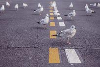 公路上的一鸽子