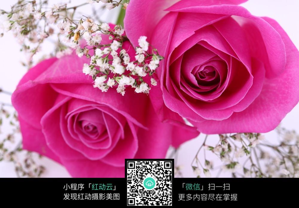 免费素材 图片素材 生物世界 花草树木 玫红色玫瑰花  请您分享: 素材