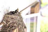 鸟巢里的雏鸟