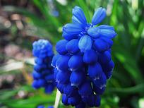 一簇蓝色花蕾