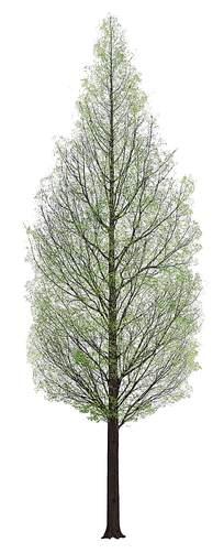初春的水杉PSD分层素材