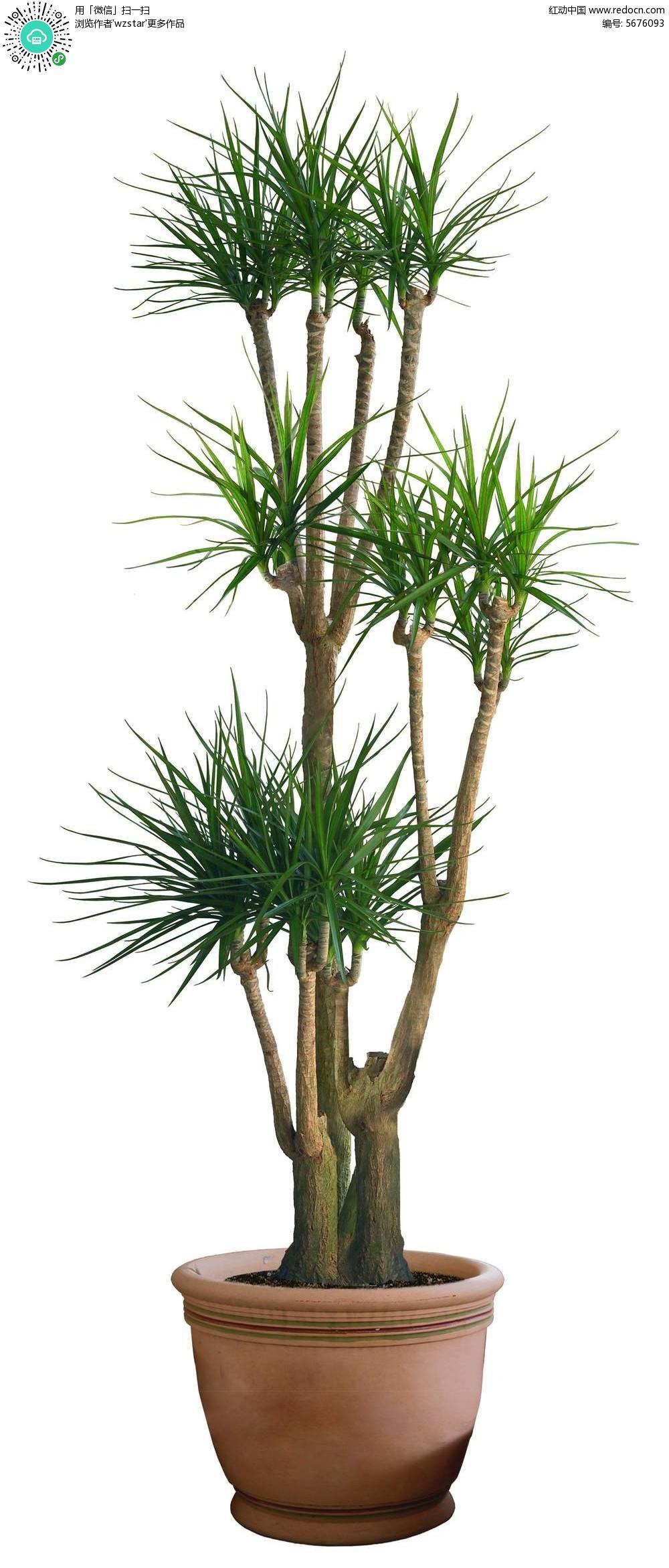 花盆里的棕榈树psd素材