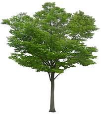 宽大的树冠psd素材下载